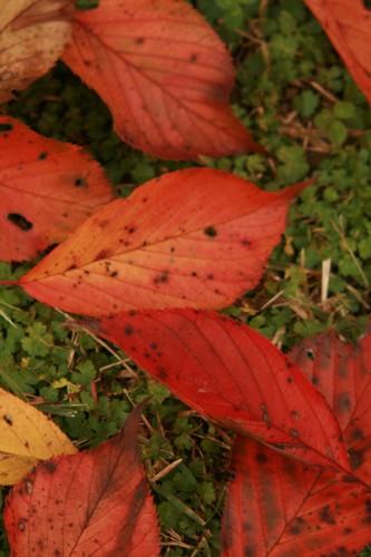 2010_11_13_桜の葉.jpg